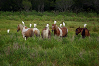 Egrets perched on feral ponies, Chincoteague Wildlife Refuge, VA.