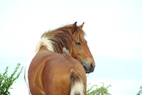Feral filly with bird on her back, Assateague National Seashore, MD